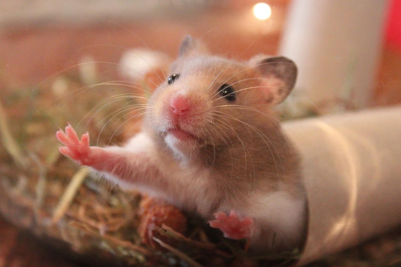 hamster-1000846_1280